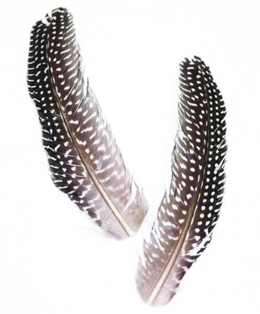 Bild på Guinea Quill (Pärlhöna)