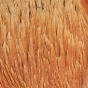 Bild på Indiska tuppnackar (A Grade) Ginger