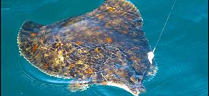 Så fiskar du | Rödspätta | Fiskeprofessorn