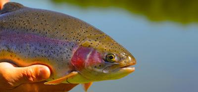 Så fiskar du | Regnbåge med Tremarella & Bombarda | Fiskeprofessorn