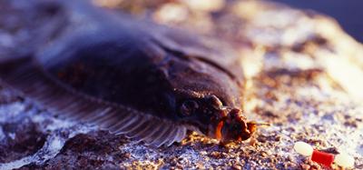 Så Fiskar Du | Kustmete efter plattfisk | Fiskeprofessorn