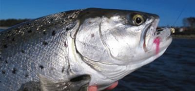 Skånsk havsöring på spinn | Fiskeprofessorn